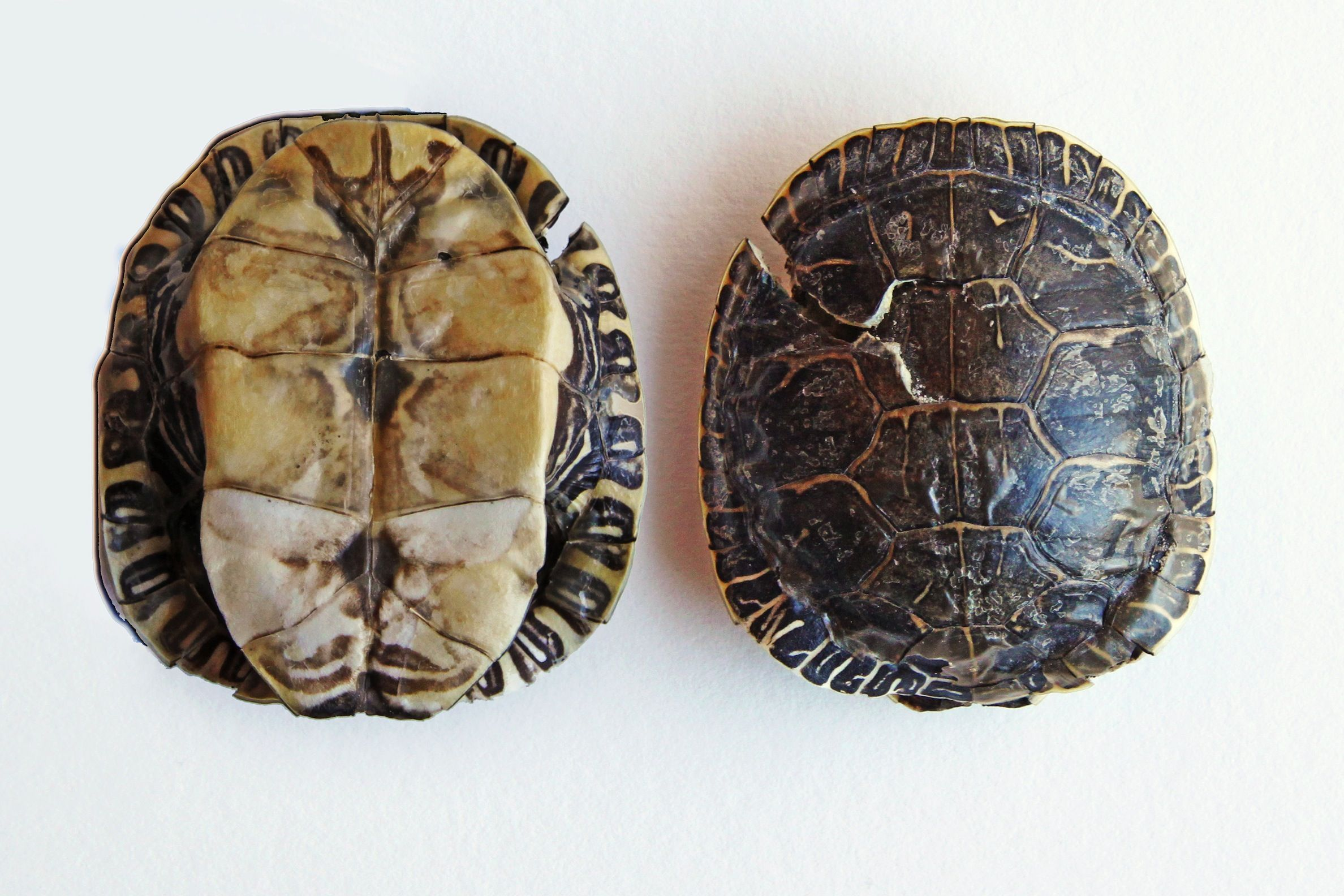 painted turtle shell mary jo hoffman still on white