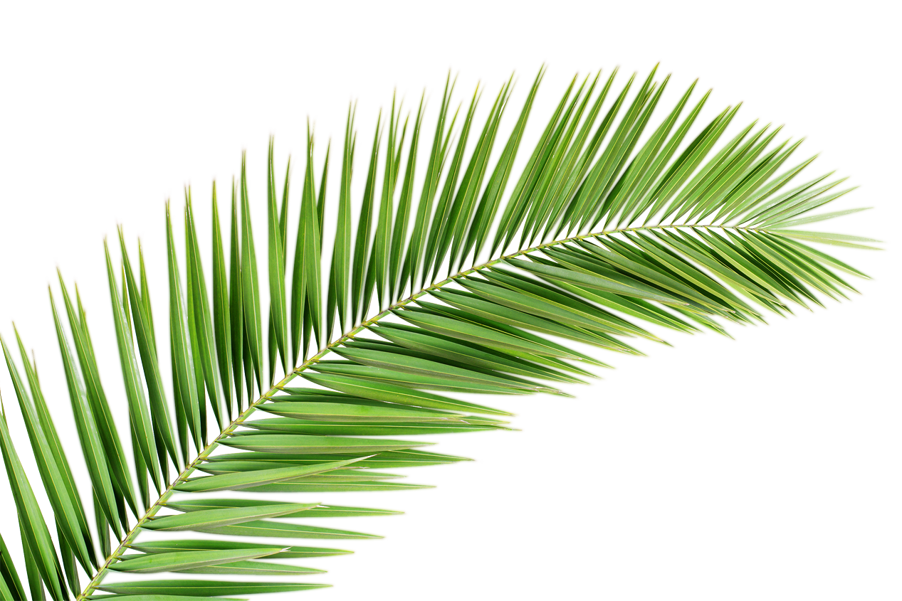 Image Result For Palm Frond Transparent Png Summer At