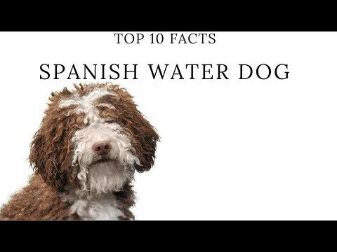 Spanish Water Dog Top 10 Interesting Facts YouTube Hunde