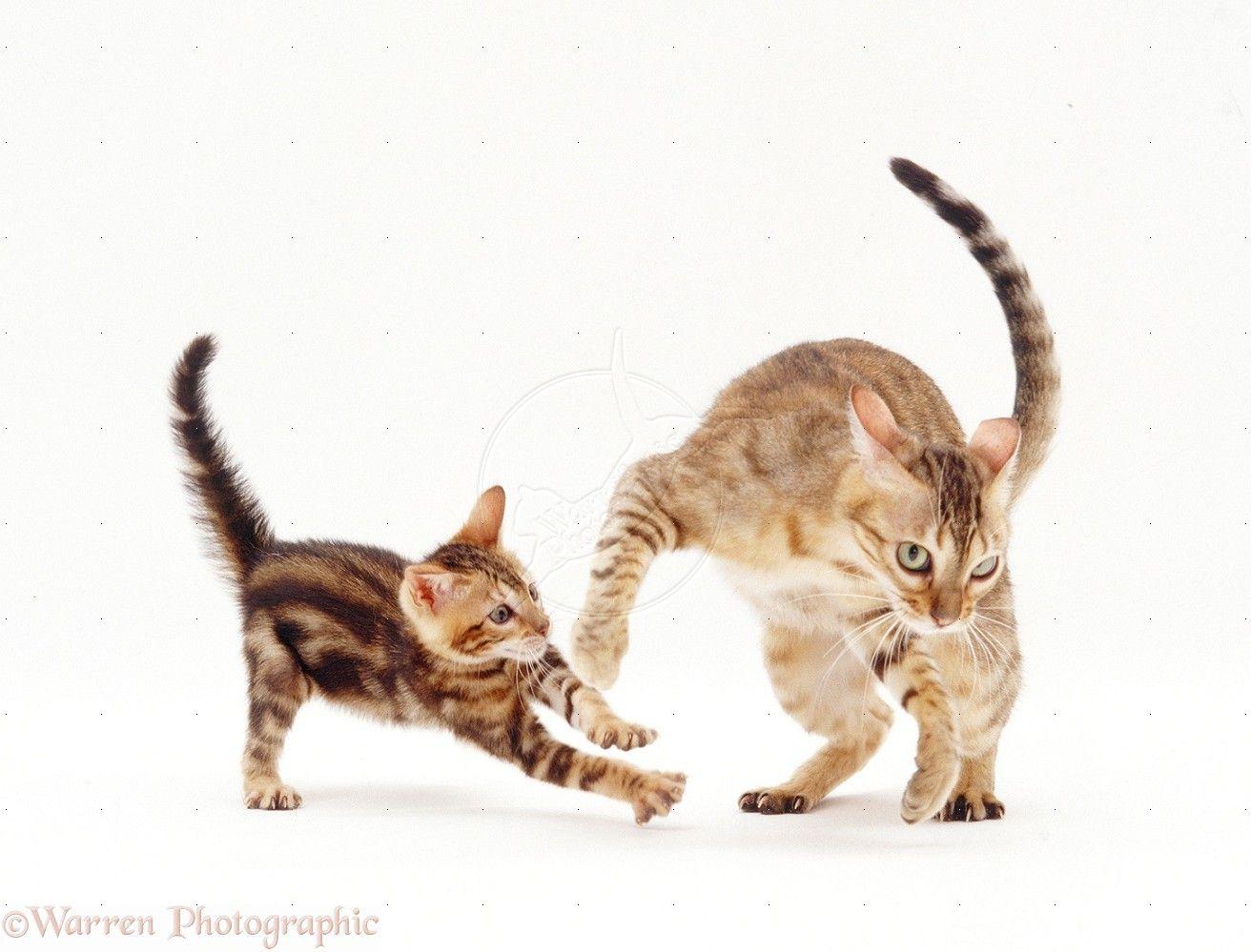 Warrenphotographic Cat Playing Cute Cats Bengal Cat