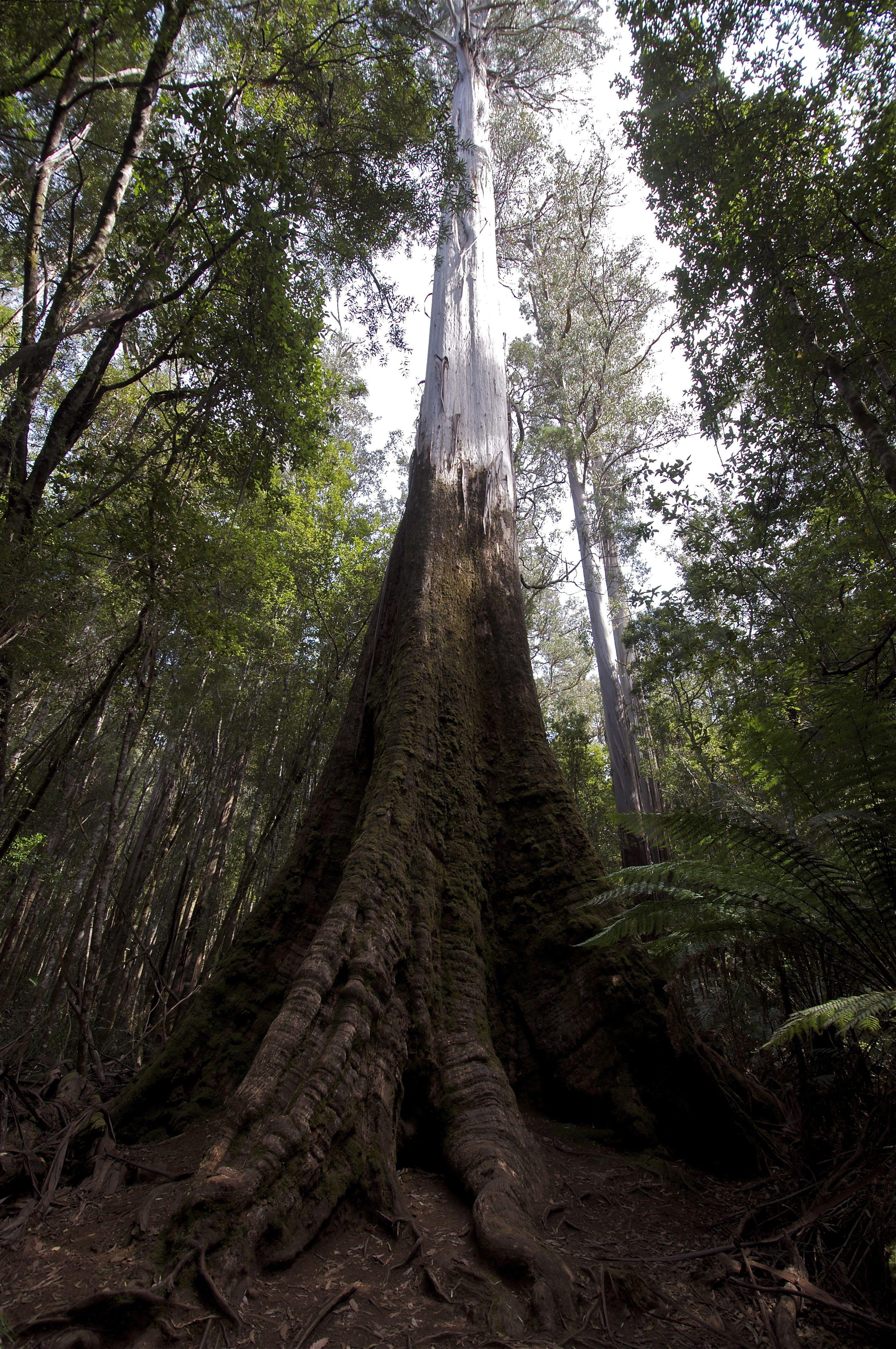 Swamp Gum Tree Eucalyptus Australia Eucalyptus Tree Tree