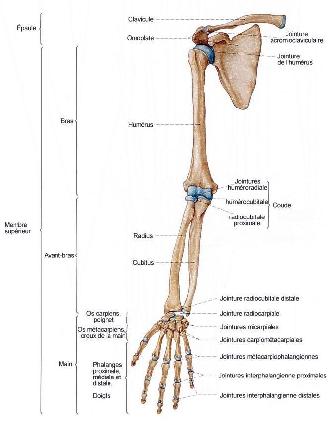 Anatomie Anatomie Anatomy Osteo Osteologie Student