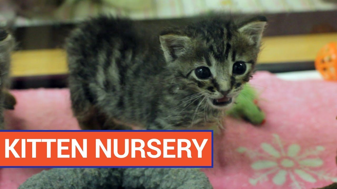 Cute Kitten Nursery Cat Video 2016 Daily Heart Beat With Images Kittens Cutest Kittens Cat Gif