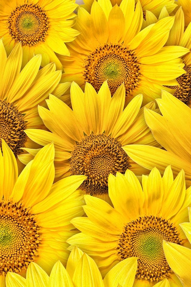 sunflowers pics - Google Search | Sunflowers | Pinterest ...