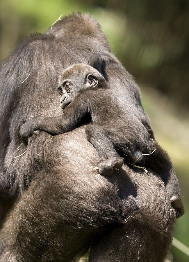 Fotos de gorilas y monos 26