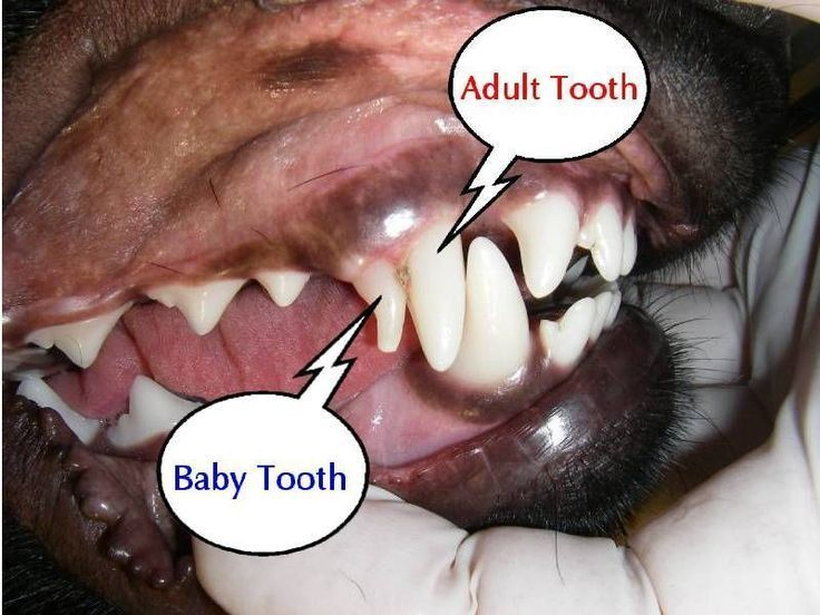 When They Lose Their Baby Teeth Yorkiepuppylosingteeth Puppy Losing Teeth Symptoms Dog Teeth Chart A Dog Teeth Cleaning Dog Having Puppies Puppy Teething