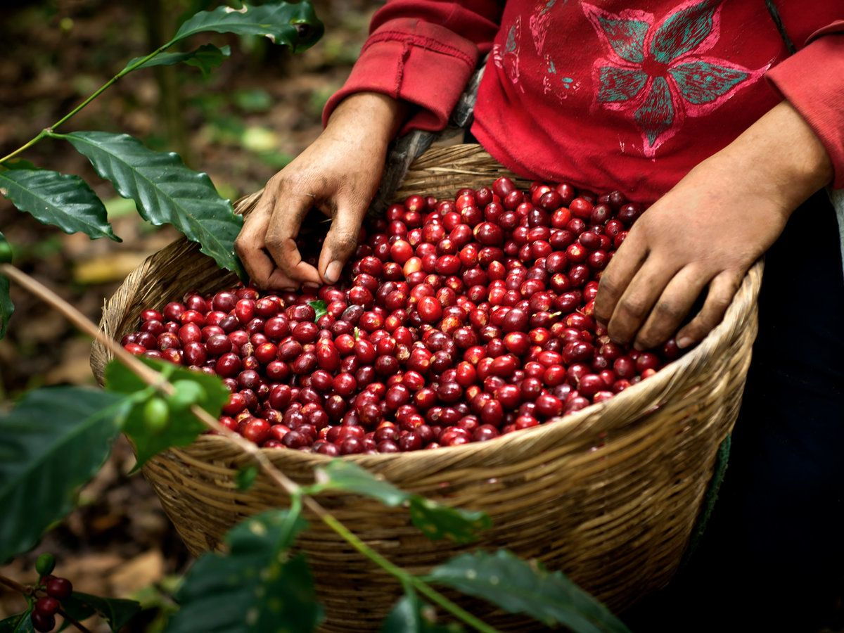 Why Coffee Berries Could Be Worth Even More Than The Beans Raw Coffee Beans Coffee Farm Organic Coffee