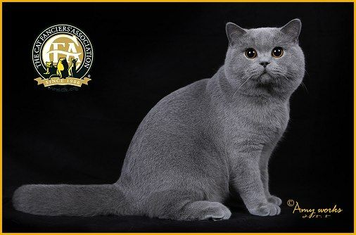 GC, NW Chloeadores Gao Gao The Bear, Blue Male British Shorthair - 8th Best Cat in China