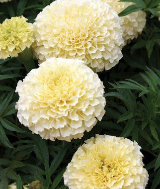French vanilla hybrid marigold seeds and plants annual flower the first hybrid white marigold mightylinksfo