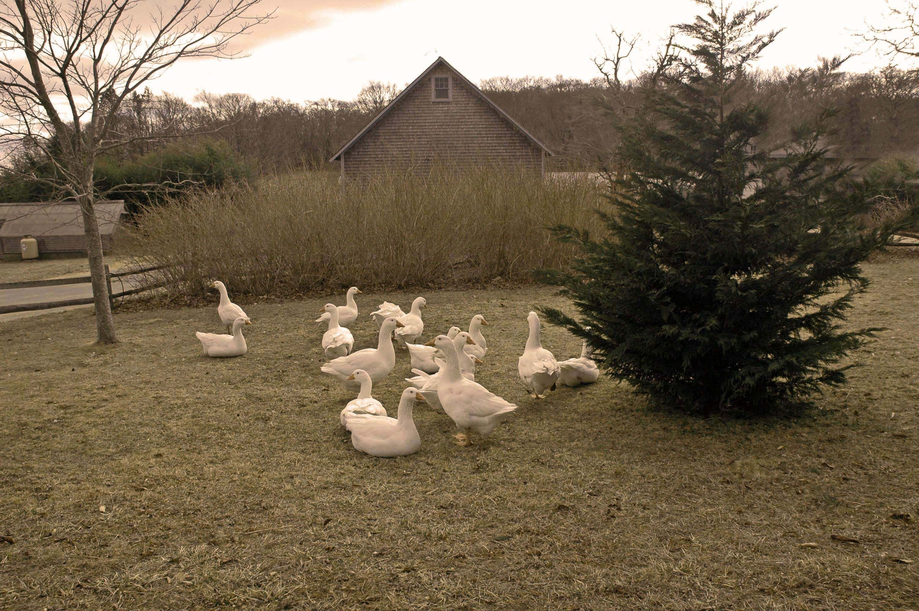 """And geese with idle gabble never oer""  Winter Evening by John Clare (1793 - 1864).  An afternoon walk in West Tisbury."