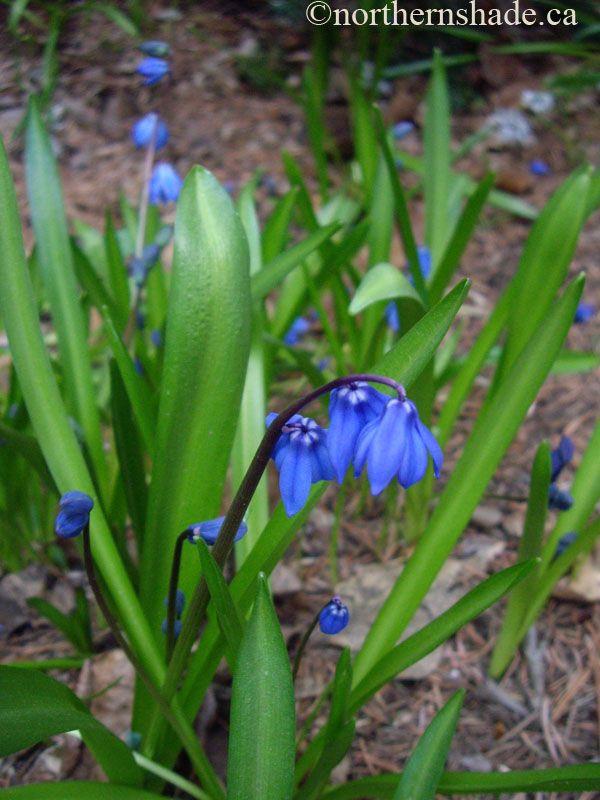 Scilla siberica squills blue flowers flowers we saw in scilla siberica squills blue flowers flowers we saw in grandmas garden mightylinksfo