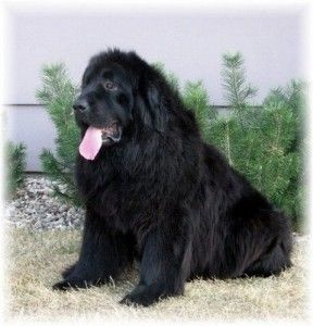 Pin By Jonathan Copley On Wish List Newfoundland Dog Dog Breeds Dogs