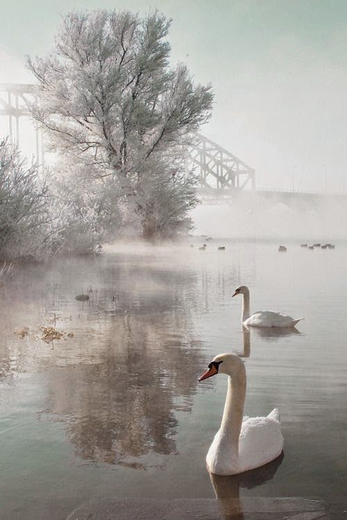 winter and swans