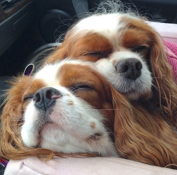 14 Reasons Cavalier King Charles Spaniels Are Not The