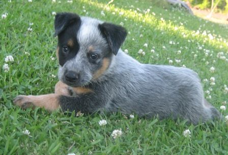 Blue Heeler Puppy I May Need One Someday Heeler Puppies Blue