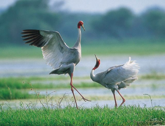 The Sarus Cranes Forms Long Lasting Pair Bonds And Are Considered