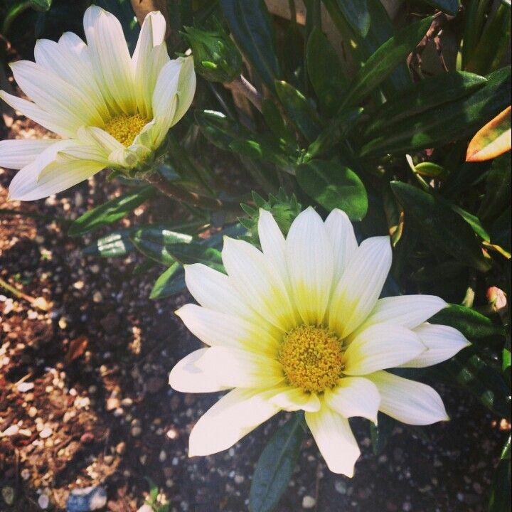 yelow white flower