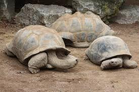 Image result for aldabra tortoise