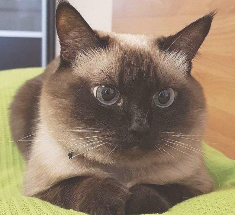 50 Female Siamese Cat Names Siamese Cats