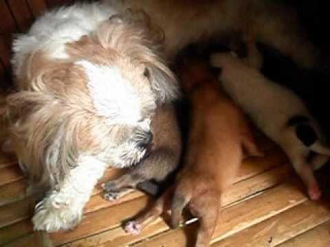 Mix Shih Tzu Askal 5 Days Old Shih Tzu Stray Dog Olds