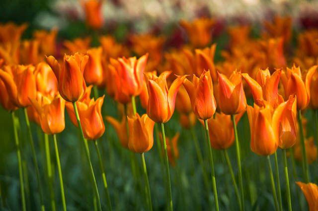 Tulipa Ballerina Lily Flowered Tulip Scent Garden Bulb Flowers Tulip Bulbs