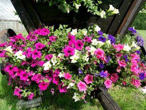 Ogrodnictwo Galeria Kwiatow Kwiaty Ogrodowe Kwiaty Rabatowe Kwiaty Doniczkowe Kwiaty Balkonowe Hurtownia Kwiatow Plants