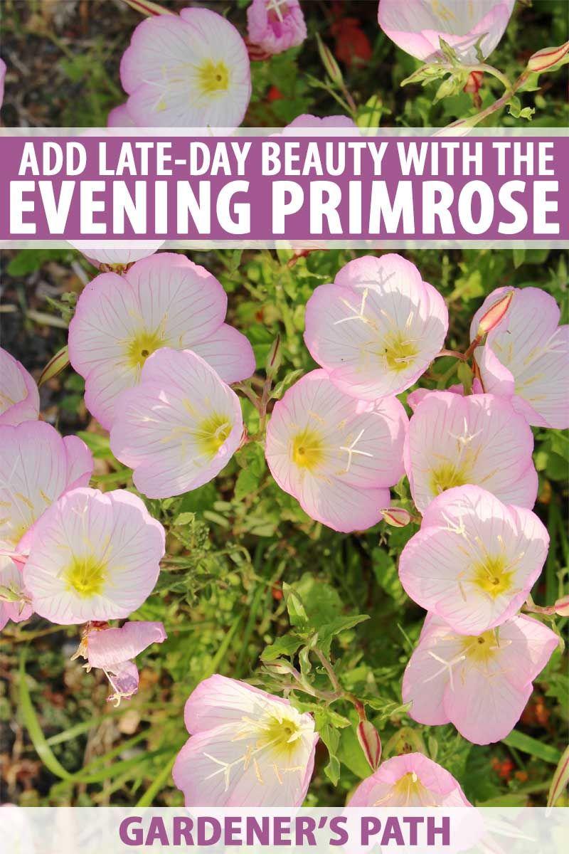 How To Grow Evening Primrose A Triple Duty Plant Primrose Plant