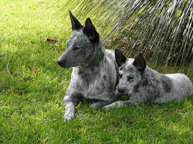 Stumpy Tail Australian Cattle Dog Tail Cattle Dog Club Of Nsw Inc Australian Stumpy Tail Cattle Dog Cattle Dogs Rule Blue Heeler Dogs Animals