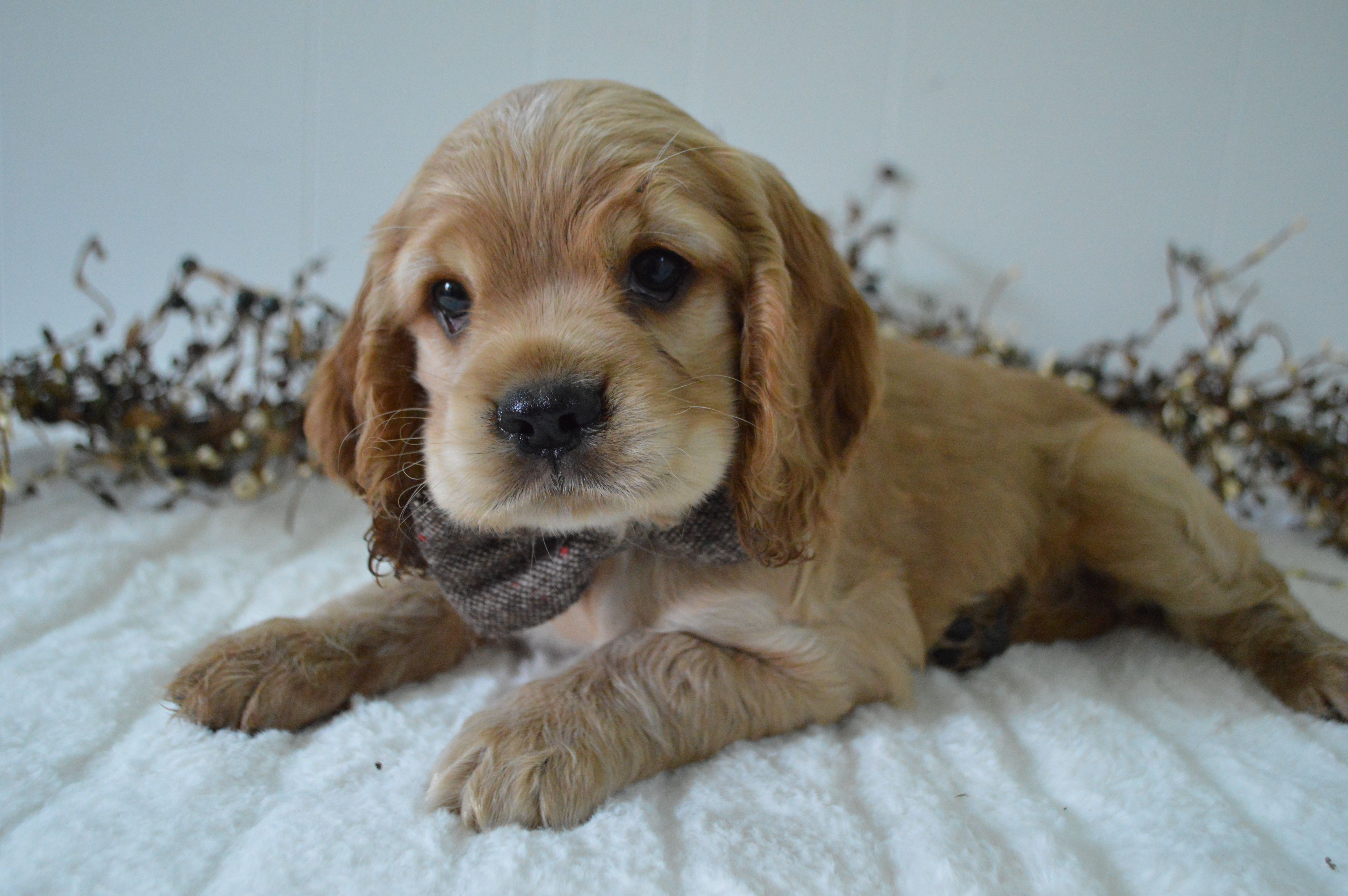 Puppies For Sale Cocker Spaniel Puppies Dog Breeder Puppies