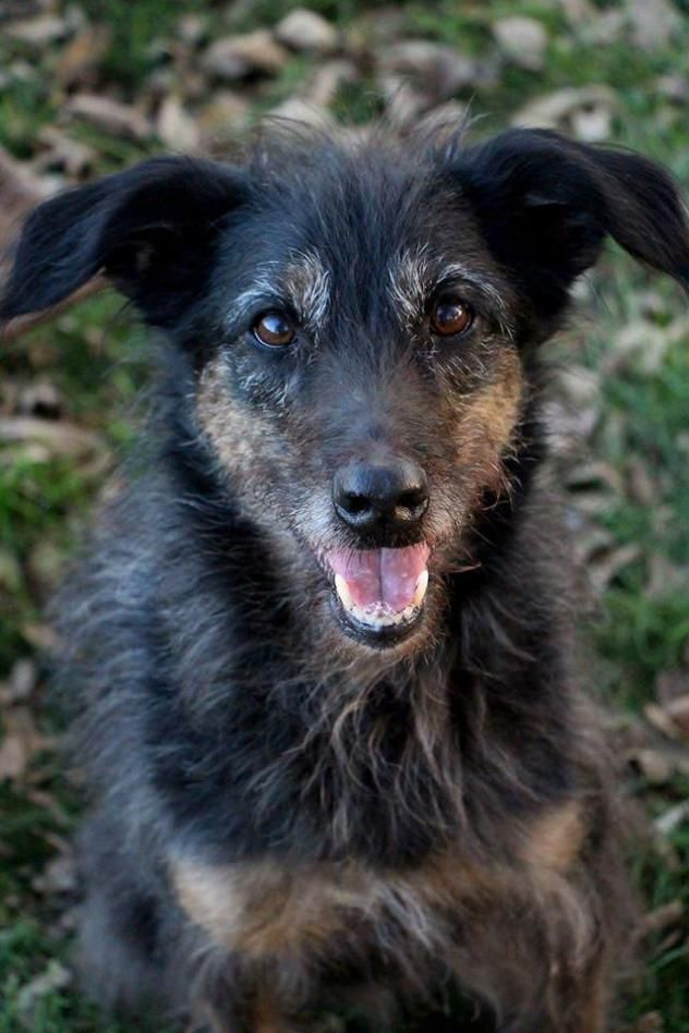 Adopt Jilly Adoption Pending On Poodle Mix Dogs Australian Shepherd Poodle Mix Dogs
