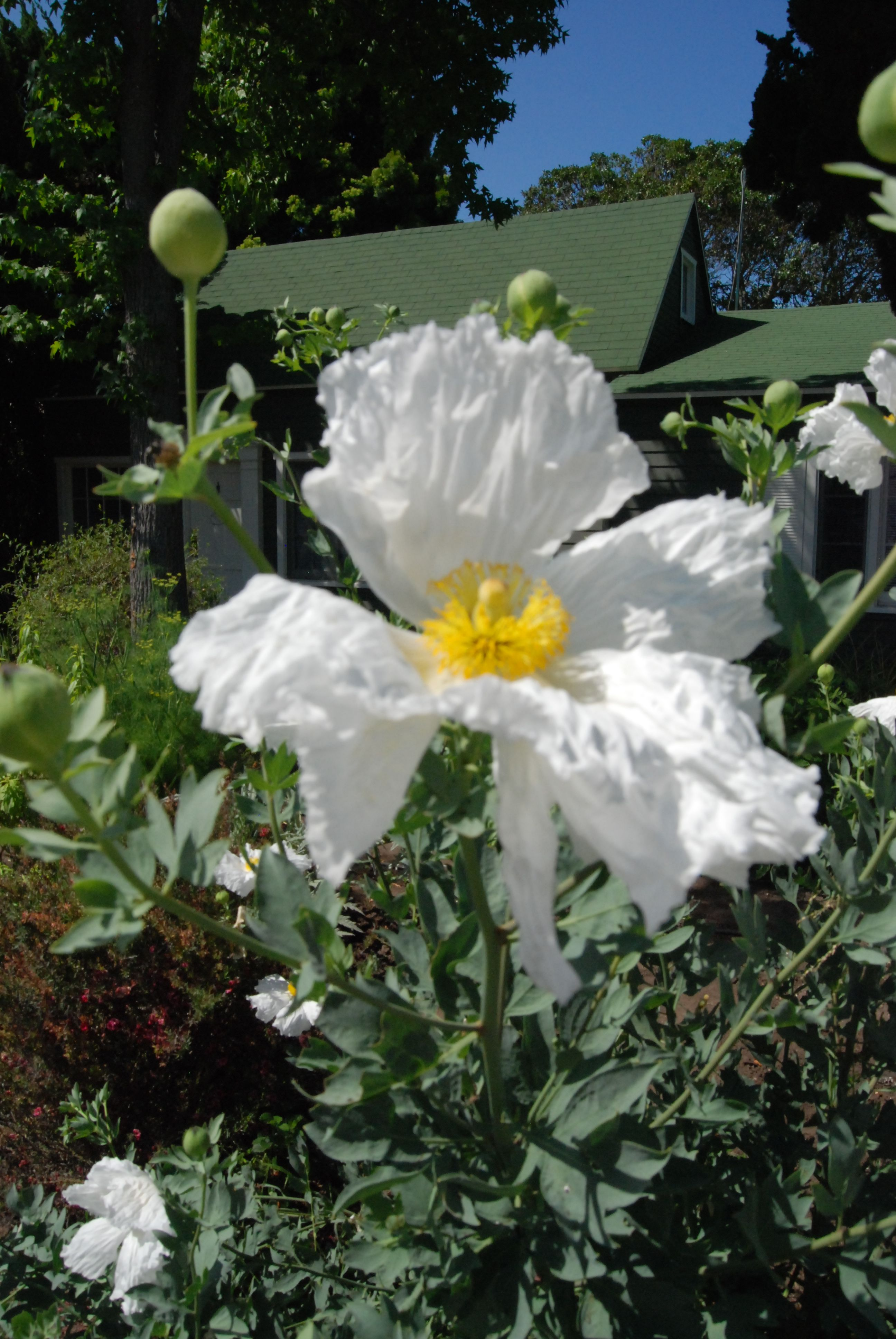 Matilja Poppy California Native Needs Little Or No Water Flowers