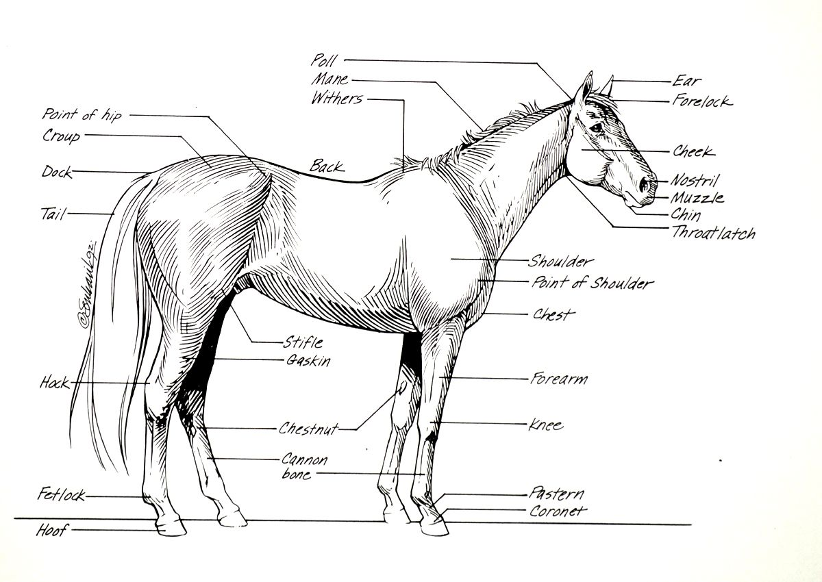Horse Anatomy I | Painted horses, Horse and Bird