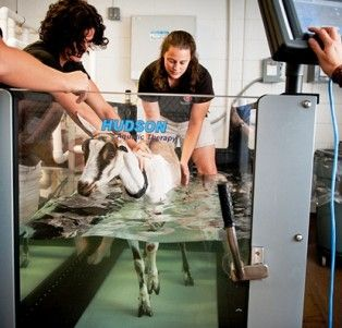 Goat doing rehab in an underwater treadmill at NC State!