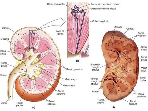 Kidney anatomy - who said pinterest doesn\'t help my education ...