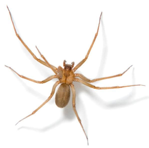 spider spiders and the webs they weave brown recluse spider rh pinterest com