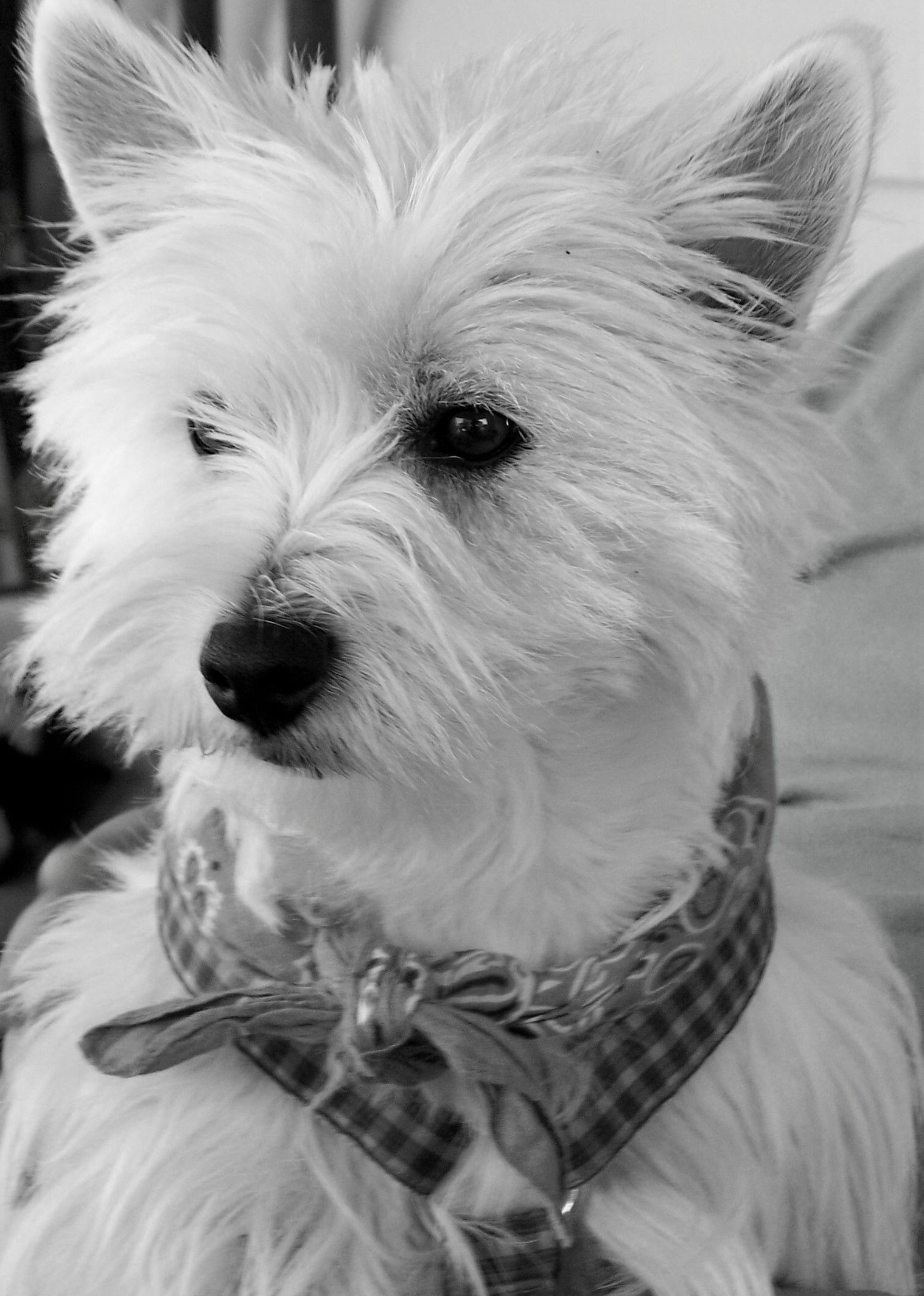 My Kenzie Aka Mama Mother Of Mr Macgregor Westies West