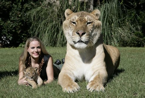 World S Largest Liger Animals Wild Cats Feline