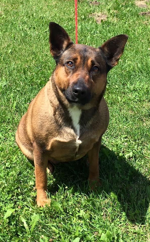 Adopt Big Lady on (With images) Shepherd dog mix, Dog