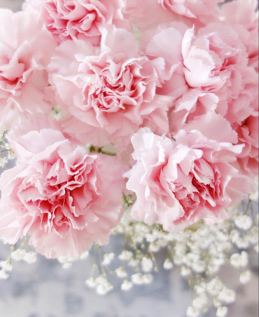 Light Pink Carnations Pale Pink Carnations Whole Blossoms In 2020 Carnation Flower Pink Carnations Carnations