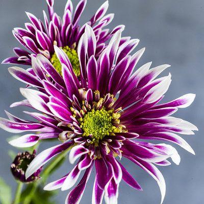Chrysanthemum Elegant Symbolic Flowers For Autumn Bouquets Sunset Mums Flowers Chrysanthemum Flower Chrysanthemum