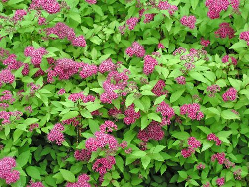 Pink Flowering Bushes And Shrubs Pink Blooming Spires And