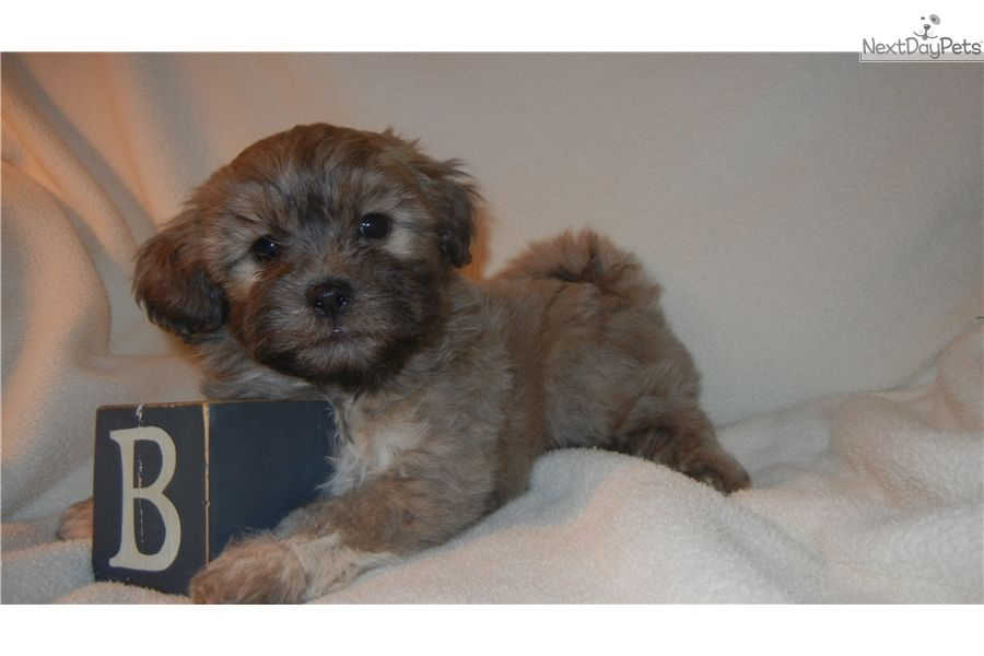 Shichon Puppy For Sale Near Nashville Tennessee 4618fcf3 Bf41