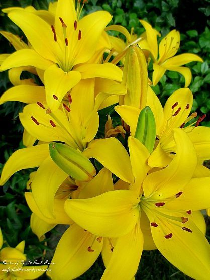 Yellow Asiatic Lilies ~ easy care and vibrant color! (Garden of Len & Barb Rosen)