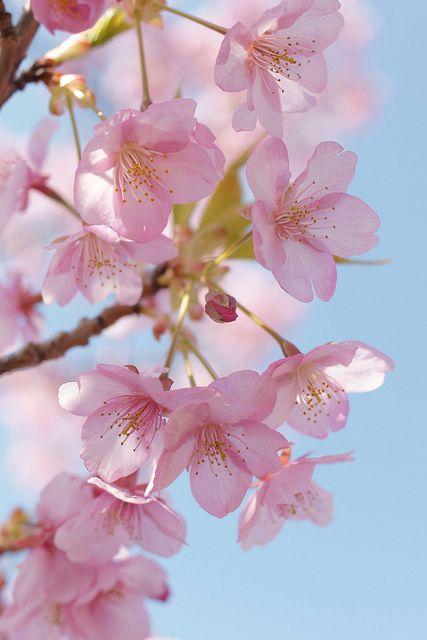 Sakura Sakura Flower Cherry Flower Blossom Flower