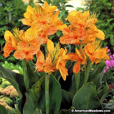 Wild canna lily canna Indian shot flower plant  Fresh lillies Seeds 100
