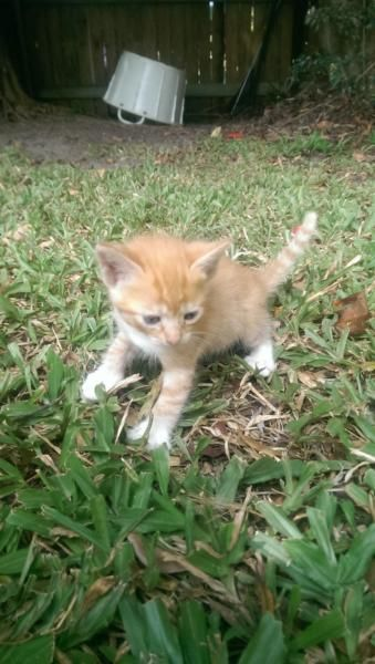We have 3 girl kittens to go to new homes Theyhave all been with kids And dogs Are kind And love to play they are ready to go to they new forever homes, 1110561319