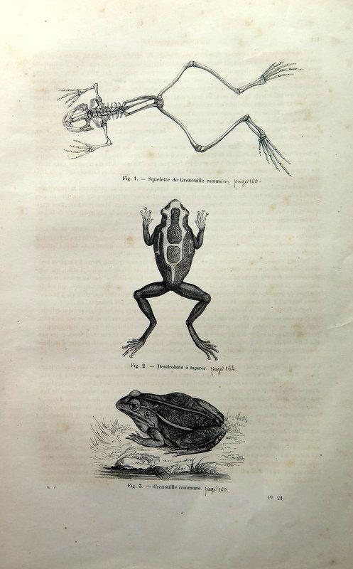 1860 Amazing antique frogs print vintage by LyraNebulaPrints ...