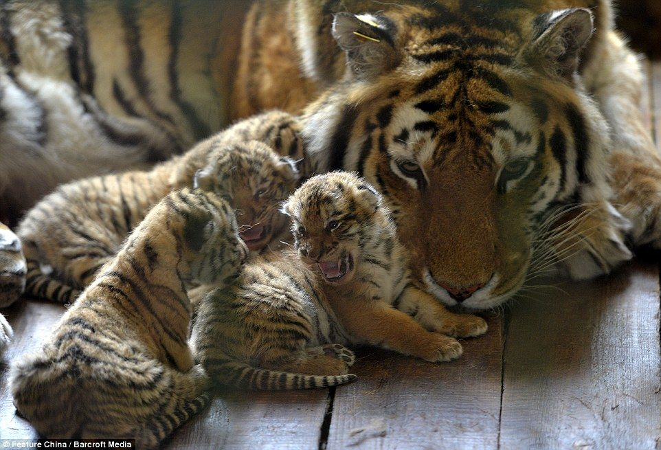 Beautiful images show off oneweekold Siberian Tiger Cubs
