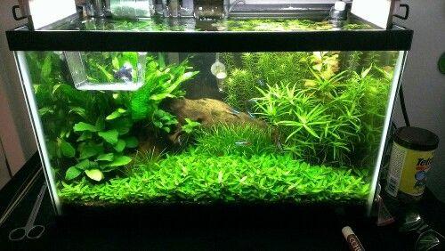 10 gallon planted tank betta fish tank pinterest for 10 gallon fish tank stocking ideas
