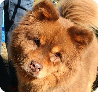 Chocolate Huskey Chow Chow Cute Pet Pics Pets Dogs Chow